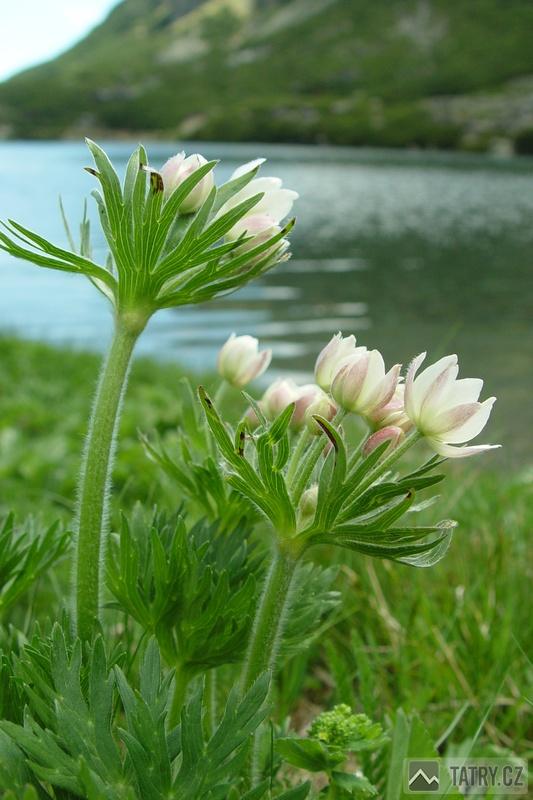 Sasanka narcisokvětá
