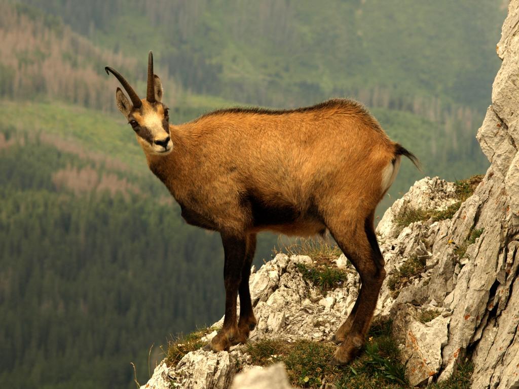 Kamzík horský tatranský (foto: Ján Slivinský)
