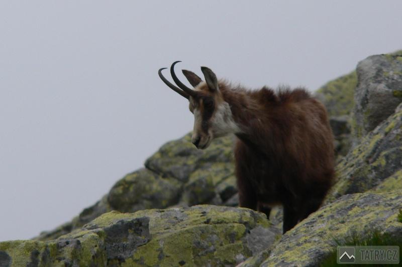 Kamzík horský tatranský