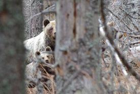 Medvědice s mladými