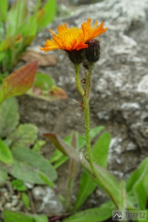 Jestřábník oranžový