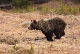 Medvědice s obojkem