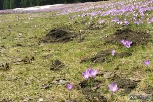 Jarní záplava šafránů v dolině Kościeliska