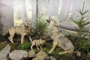 Vlci v Muzeu TANAPu
