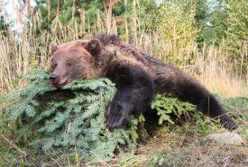 Zastřelená medvědice na Sibíri
